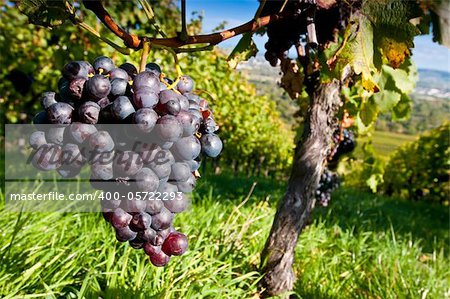 Red grapes in a German vineyard Stock Photo - Budget Royalty-Free, Image code: 400-05722293