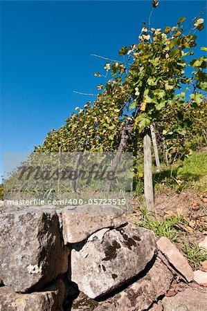 Wall in a vineyard with grapes and a blue sky Stock Photo - Budget Royalty-Free, Image code: 400-05723515