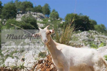 Goat in Picos de Europa, Asturias, Spain