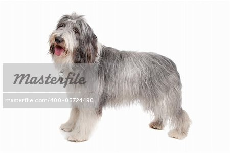 bearded collie in front of a white background