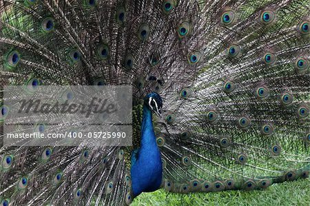 The bird peacock peafowl with his tail feathers