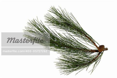 Branch of the pine, isolated on a white background
