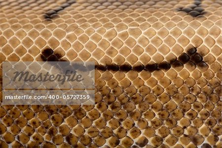 Close-up of Spinner Python, Royal python skin, ball python, Python regius, 2 years old Stock Photo - Budget Royalty-Free, Image code: 400-05727359