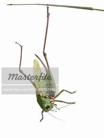 Female wart-biter, a bush-cricket, Decticus verrucivorus, in front of white background