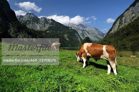 Alpine cow a beautiful sunny day