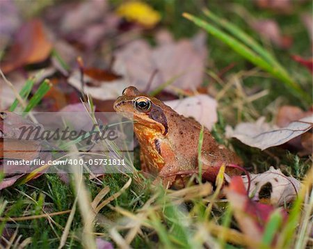 common frog or european brown frog perfectly camouflated between the autumn leaves