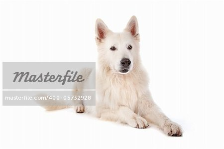 white Shepherd dog in front of a white background