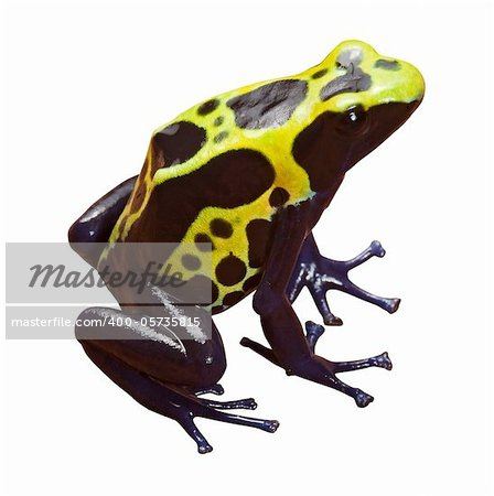 poison dart frog with bright yellow black and blue colors, beautiful exotic amazon forest amphibian isolated