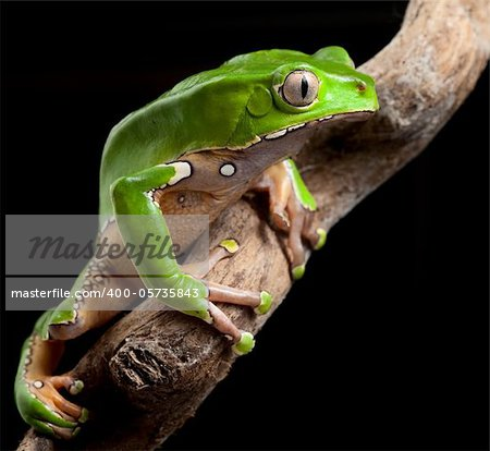 green tree frog amazon rain forest exotic tropical amphibian pet at night in jungle
