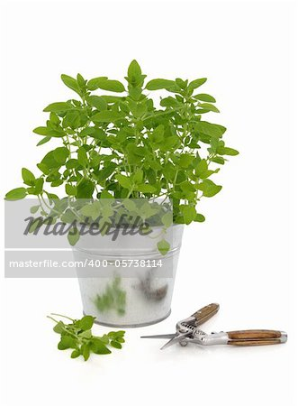 Marjoram herb growing in a metal plant pot with pruning cutters and leaf sprigs isolated over white background.