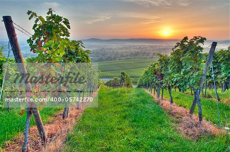 Morning sun in vineyard in Germany Stock Photo - Budget Royalty-Free, Image code: 400-05742270