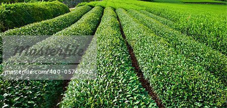 Beautiful fresh green tea plantation at Nihondaira, Shizuoka - Japan