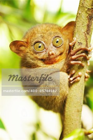 Tarsier monkey in natural environment Stock Photo - Budget Royalty-Free, Image code: 400-05744582