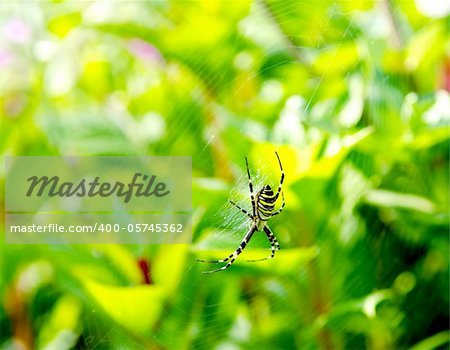 Spider Argiope bruennichi on web