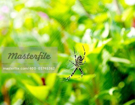 Spider Argiope bruennichi on web