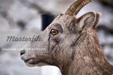 Rocky Mountain Sheep Alberta Canada young kid
