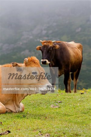 Typical Brown Cow of Asturias (Northern Spain).