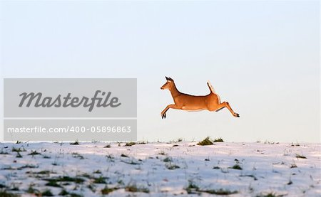 Deer leaping in flight Stock Photo - Budget Royalty-Free, Image code: 400-05896863
