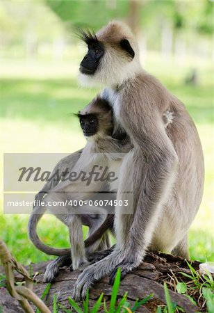 Wild monkey embraces her baby, Asia, Sri Lanka Stock Photo - Budget Royalty-Free, Image code: 400-06074503