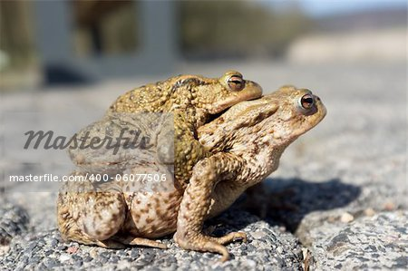 Couple Of mating Toads  in spring season Stock Photo - Budget Royalty-Free, Image code: 400-06077506