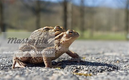 Couple Of mating Toads  in spring season Stock Photo - Budget Royalty-Free, Image code: 400-06077507