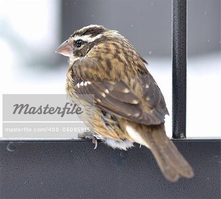 Sparrow in a winter