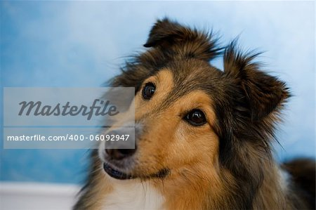 Image of a beautiful Sheltie on bluosh background Stock Photo - Budget Royalty-Free, Image code: 400-06092947