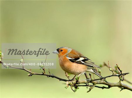 Male chaffinch sitting on the branch of a hawthorn tree in spring. Stock Photo - Budget Royalty-Free, Image code: 400-06131208