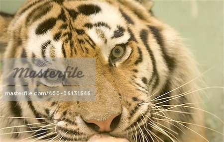 Tiger Stock Photo - Budget Royalty-Free, Image code: 400-06131646