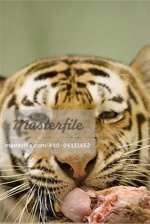 Tiger eating Stock Photo - Budget Royalty-Free, Image code: 400-06131652