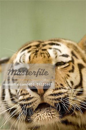 Tiger resting Stock Photo - Budget Royalty-Free, Image code: 400-06131667