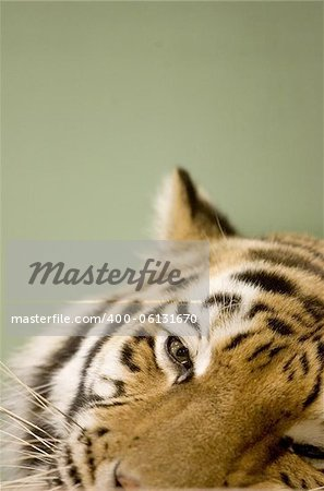 Tigers face Stock Photo - Budget Royalty-Free, Image code: 400-06131670