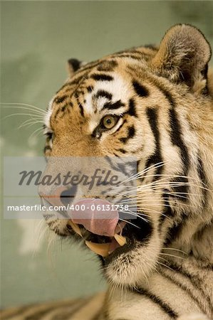 Tiger series Stock Photo - Budget Royalty-Free, Image code: 400-06131738