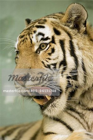 Tiger portrait series Stock Photo - Budget Royalty-Free, Image code: 400-06131748