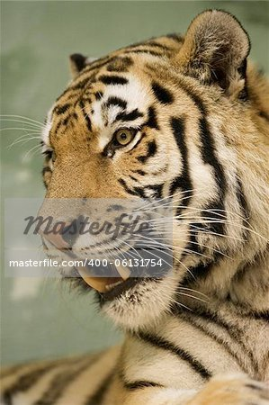 Tiger portrait Stock Photo - Budget Royalty-Free, Image code: 400-06131754