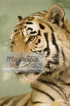 Tiger portrait Stock Photo - Budget Royalty-Free, Image code: 400-06131756