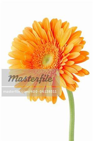 Orange gerbera daisy flower isolated on white background. Stock Photo ...