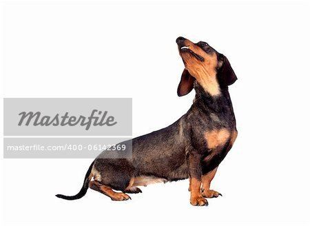 Beautiful dog teckel looking up  isolated on white background Stock Photo - Budget Royalty-Free, Image code: 400-06142369