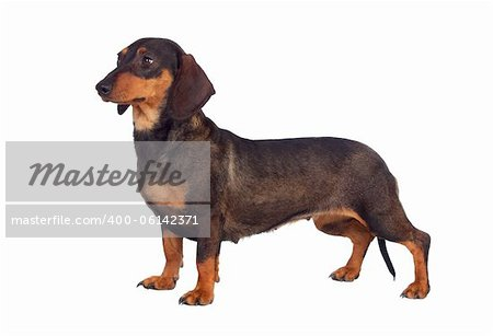 Funny dog teckel isolated on white background Stock Photo - Budget Royalty-Free, Image code: 400-06142371