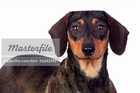 Beautiful dog teckel isolated on white background Stock Photo - Budget Royalty-Free, Image code: 400-06142741
