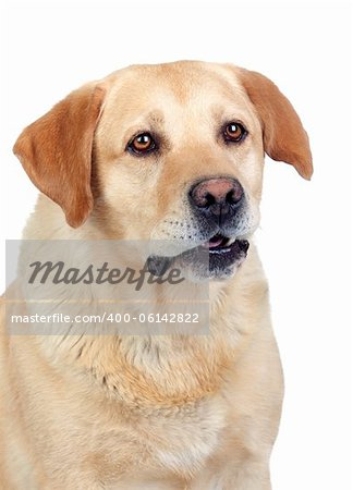 Beautiful Labrador retriever adult isolated on white background Stock Photo - Budget Royalty-Free, Image code: 400-06142822