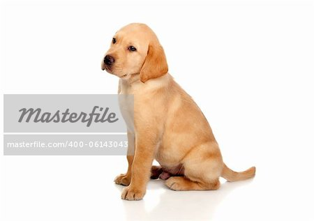 Beautiful Labrador retriever puppy isolated on white background Stock Photo - Budget Royalty-Free, Image code: 400-06143043