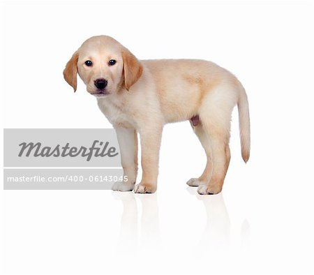 Beautiful Labrador retriever puppy isolated on white background Stock Photo - Budget Royalty-Free, Image code: 400-06143045