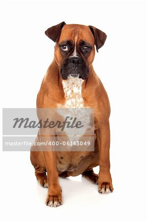 Beautiful Boxer dog isolated on white background Stock Photo - Budget Royalty-Free, Image code: 400-06143049