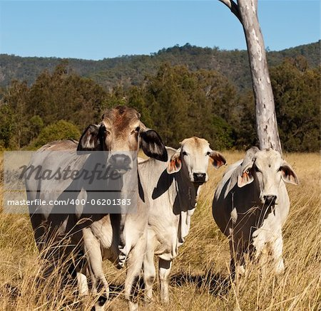 Australian meat industry brahman cattle in pasture