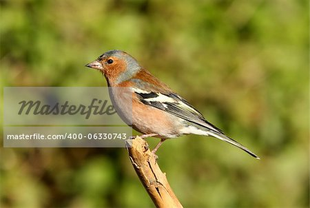 Portrait of a male Chaffinch Stock Photo - Budget Royalty-Free, Image code: 400-06330743