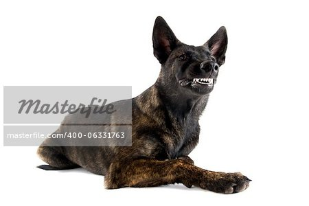 portrait of an aggressive holland shepherd in a studio Stock Photo - Budget Royalty-Free, Image code: 400-06331763