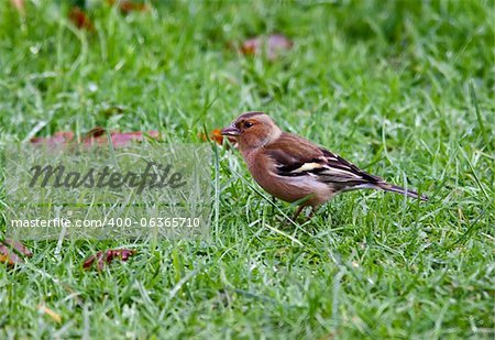 Chaffinch bird Stock Photo - Budget Royalty-Free, Image code: 400-06365710