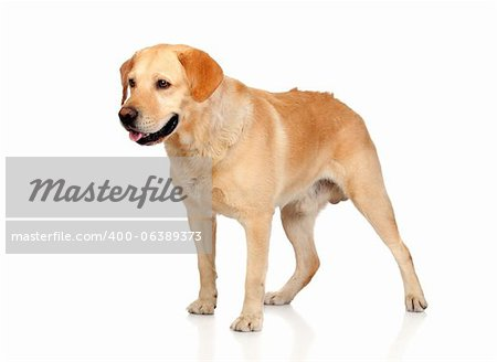Beautiful Labrador retriever adult isolated on white background Stock Photo - Budget Royalty-Free, Image code: 400-06389373