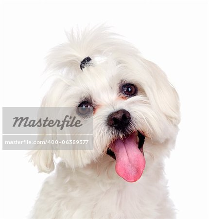 Beautiful white Bichon Maltese isolated on white background Stock Photo - Budget Royalty-Free, Image code: 400-06389377